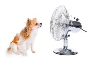 purebred chihuahua and fan