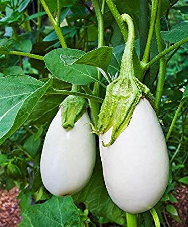 ancient eggplant - lebootcamp