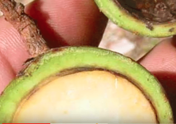 ancient avocado vs modern avocado