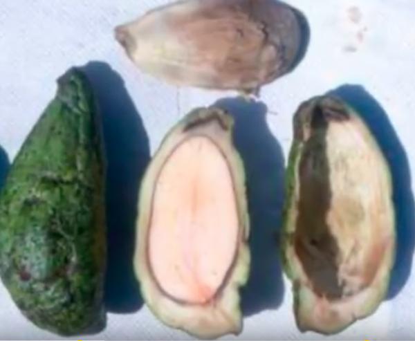 ancient avocado 2