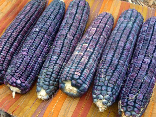 blue corn - lebootcamp