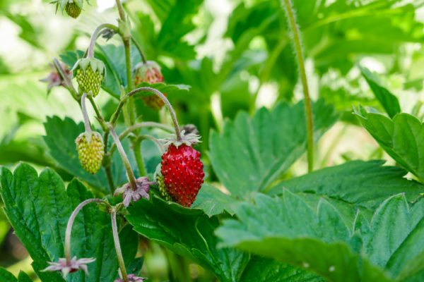 wild strawberry - lebootcamp